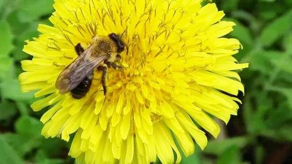 Мед цветочный. Пчела на одуванчике