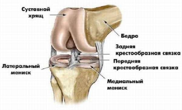 Анатомическое строение мышц и связок коленного сустава человека (видео урок)