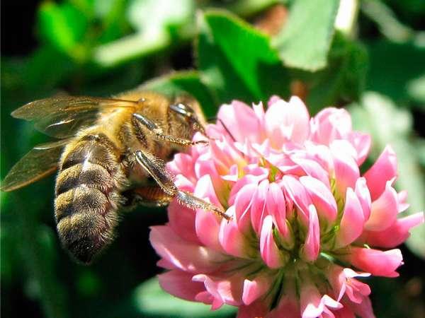 Полезные свойства клеверного меда Фото клевера с пчелой