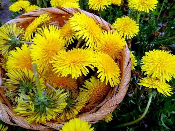Цветок по имени солнце Фото