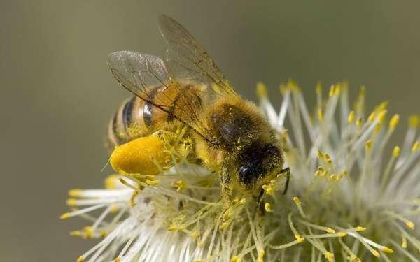 Лечебные свойства пчелиной перги Фото пчелки