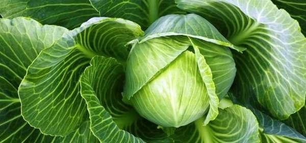 Польза капусты для организма человека