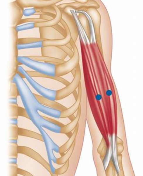 Трехглавая мышца плеча