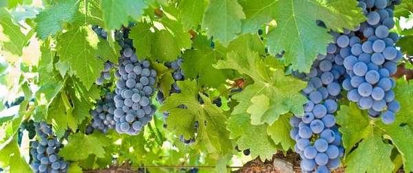 Плюсы и минусы диеты на винограде Фото