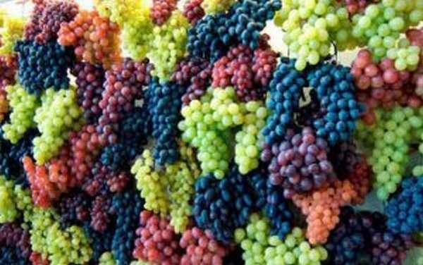 Выбор лучшего винограда для похудения